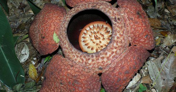 Rafflesia Plant Plant Adaptations Unusual Plants Unique Plants