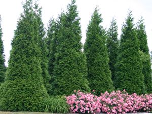 No More Nosy Neighbors Fastest Growing Hedge Plant Green Giant Arborvitae Thuja Green Giant Emerald Green Arborvitae