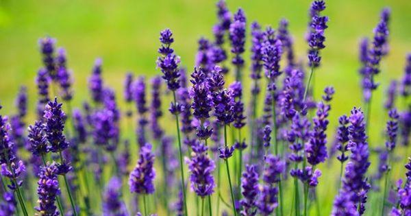 Piekna Lawenda Jak Posadzic Lawende W Ogrodzie Buy Lavender Plants Lavender Plant Medicinal Herbs Garden