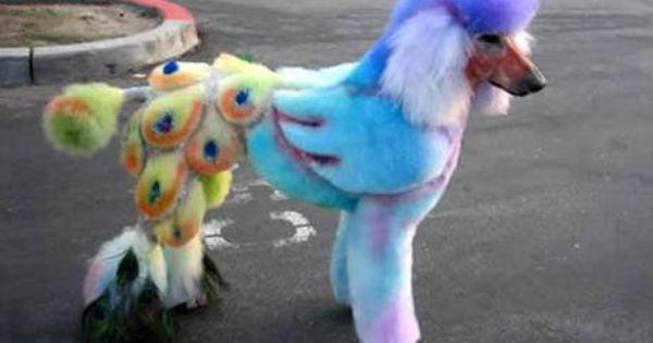 Peacock Poodle This Is The Most Ridiculous Thing At Least Make