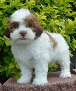 Shih Poo Puppies For Sale Shih Poo Puppies Shih Poo Puppies