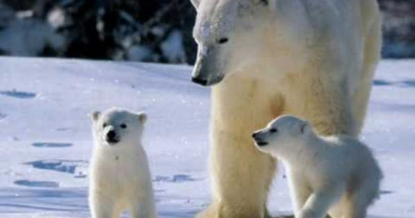Animaux les ours polaire th me le p le nord - Animaux pole nord ...
