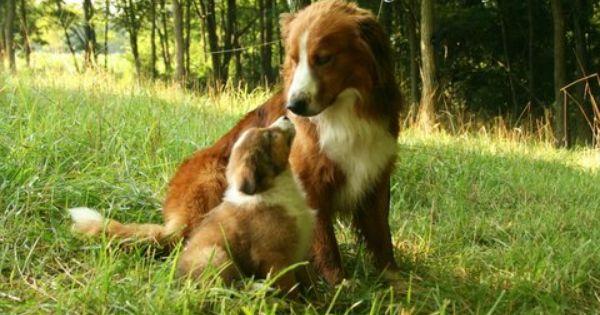 English Shepherds English Shepherd Farm Dogs Dogs