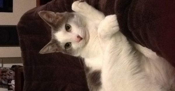 Lost White Grey Cat Berwick Vic 3806 With Images Lost