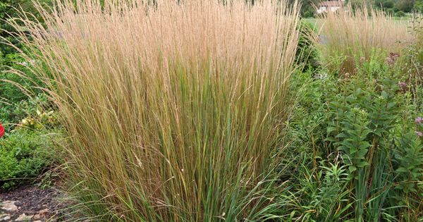 Calamagrostis karl foerster common name feather reed for Full sun ornamental grass