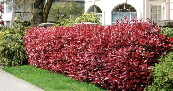another great landscaping bush the red tipped photinia backyards gardens decks curbs. Black Bedroom Furniture Sets. Home Design Ideas