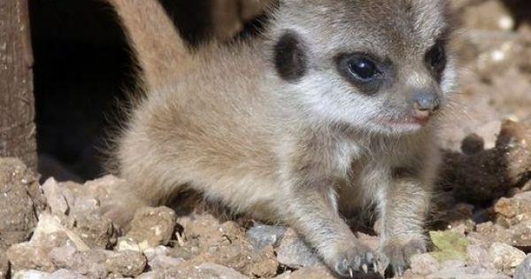 Surprisingly Cute Baby Animals - Baby Meerkat