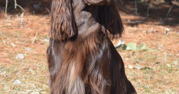 Field Spaniel Dog Breeds Smartest Dog Breeds Dogs