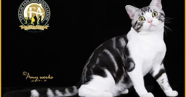 Gc Nw Getrichcat S Rocket Silver Tabby White Male American Shorthair 9th Best Kitten In China American Shorthair Cat Cat Grooming Tabby