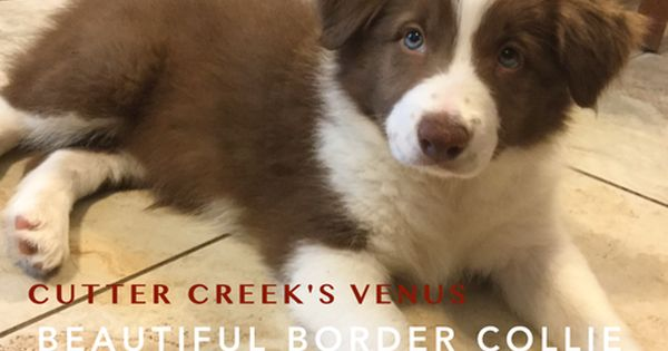 Border Collie Puppy For Sale In Wills Point Tx Adn 28457 On Puppyfinder Com Gender Female Age Collie Puppies For Sale Border Collie Puppies Collie Puppies