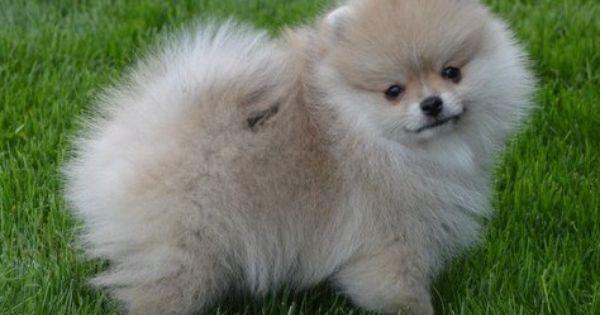 Pomeranian Dog For Sale Near Jacksonville Florida Pomeranian Dog Dogs For Sale Dogs