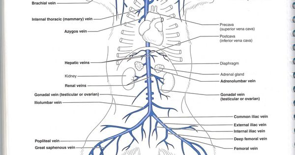 Quiz / Test: Coronary arteries and cardiac veins | Kenhub