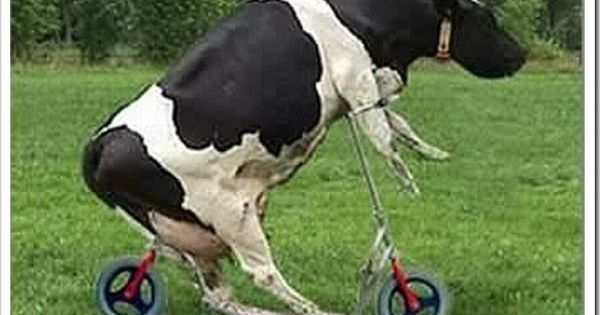Oh My This Seat Was Obviously Not Cow Rated Cows Funny Funny Cow Pictures Animal Pictures