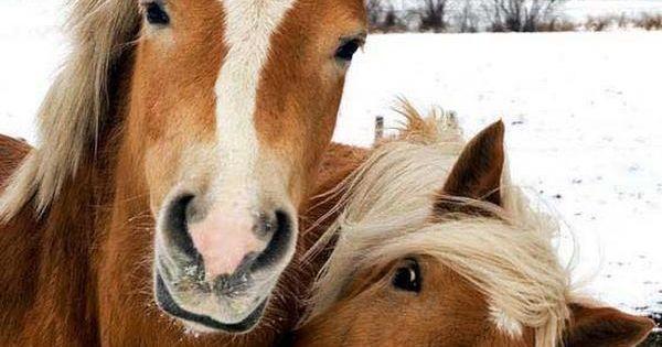 haflinger horses>>> Looks like me and my bff :) | Horses ...