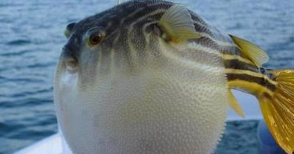 Puffer Fish There Are Around 120 Known Species Of Puffer Fish The Second Mo Bones Funny Fish Funny