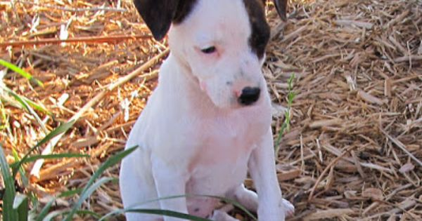 Need Help Naming Pup With Images Hunting Dogs Rat Terrier