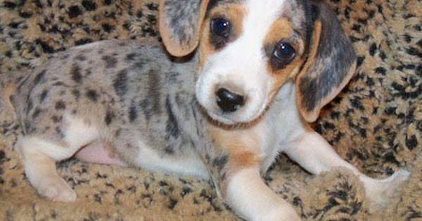 Queen Elizabeth Pocket Beagle Information And Pictures Queen