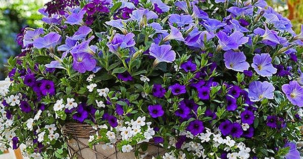 Pin By Osprey Antiques On Mixed Containers Container Flowers Purple Flowers Garden Container Gardening