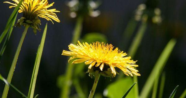 Health Benefits Of Dandelion Tea In 2020 Dandelion Dandelion Benefits Dandelion Flower