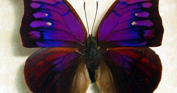 Real Purple Butterflies | Real Rare Framed Butterfly Purple Anaea Tyrianthina 822