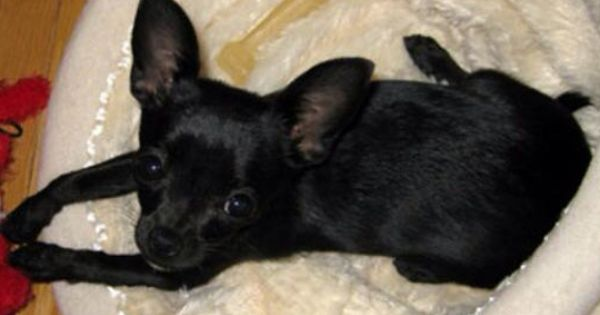 Lost Dog Teacup Chihuahua In Crestview Flshort Url Pet Name Biggie Date Lost May 17 2014 Breed Teacu Baby Chihuahua Chihuahua Puppies Cute Chihuahua