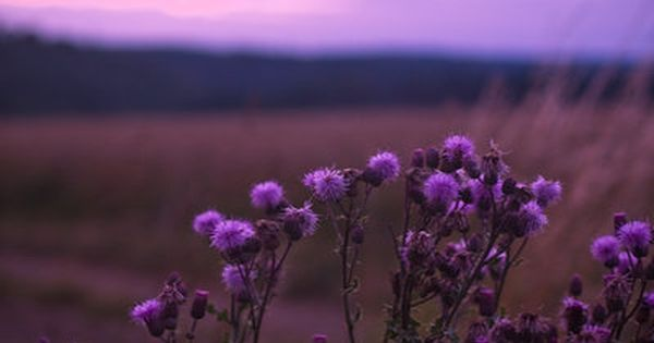 purple thistle ..purple sky