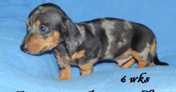 Miniature Dachshund Puppies Dachshund Puppies Dogs Puppies