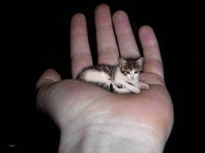 Smallest Cat In The World Tiny Cats Small Cat Small Pets