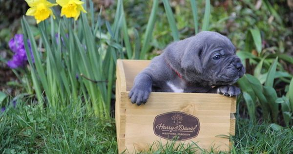 Litter Of 6 Cane Corso Puppies For Sale In Vancouver Wa Adn 25684 On Puppyfinder Com Gender Male S And Puppies For Sale Cane Corso Italian Mastiff Puppies