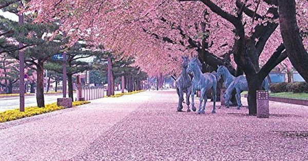 The Kwanzan Cherry Tree Is One Of The Showiest Of All Japanese Trees The Blooms Of Kwa Japan Cherry Blossom Festival Kyoto Japan Cherry Blossom Cherry Blossom