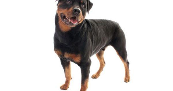 Rottweiler Rottweiler Dog Price Dog Breeds Rottweiler