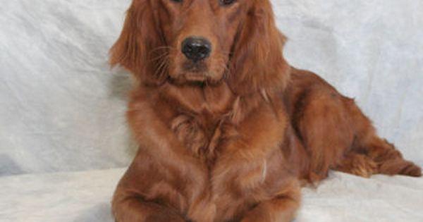 Golden Irish Dogs Golden Retriever Golden Retriever Irish Setter Mix Golden Retriever