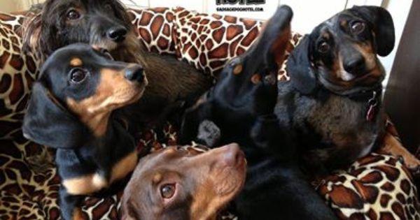 Sausage Dog Hotel Dog Hotel Doxie Puppies Weenie Dogs
