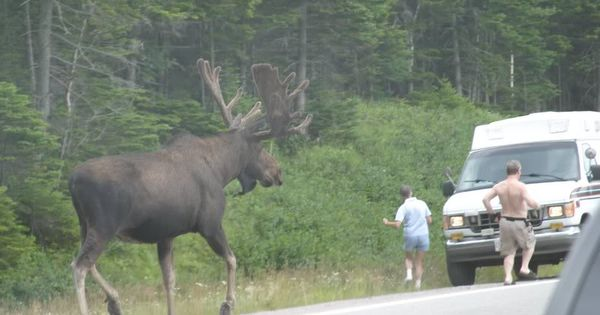 Largest Moose Picture Algonquin Adventures Message Board