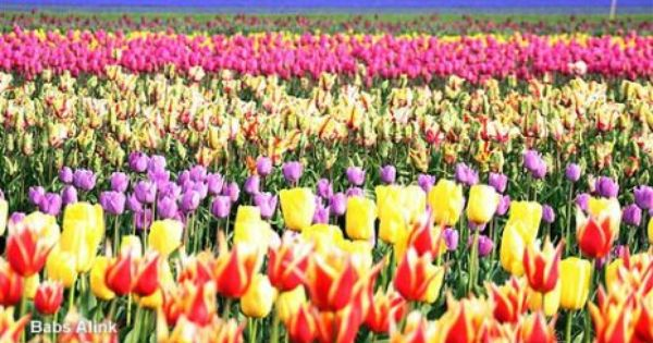 Tulips In Mazar E Sharif Bab Afghanistan Pictures