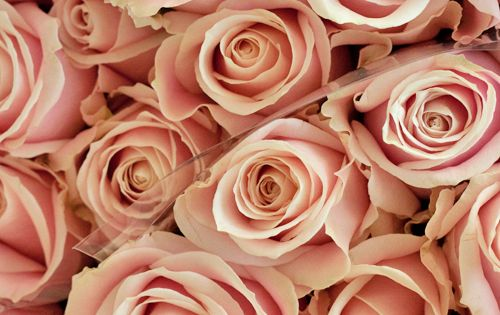 Sweet Avalanche roses Absolute favourite flowers Dusty pink roses