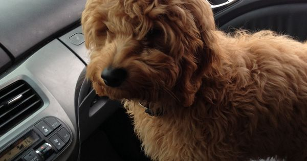 Goldendoodle Puppy Mini 12 Weeks Old, Easy To Train And