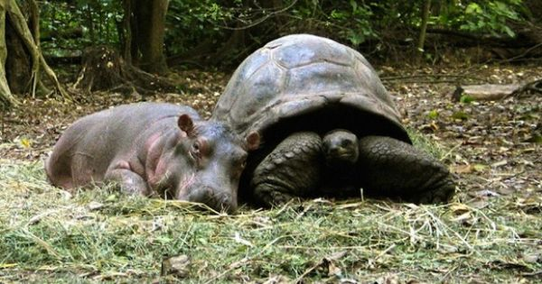 Owen A Baby Hippopotamus That Survived The Indian Ocean