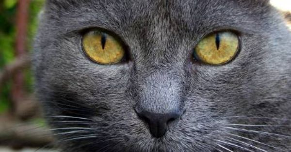 Widescreen Wallpaper Gray Cat Yellow Eyes Hd 1280x1024 Grey Cat