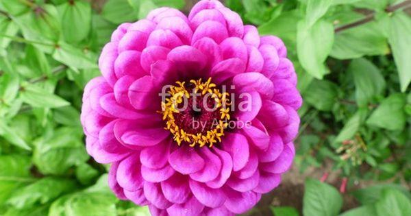 Bluhende Zinnie Mit Purpurfarbenen Blutenblattern In Einem Grunen Garten In Wettenberg Krofdorf Gleiberg Bei Giessen In Hessen Garten Blumen Purpur