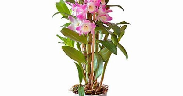 Dendrobium Orchideen Zimmerpflanzen Und Pflanzen