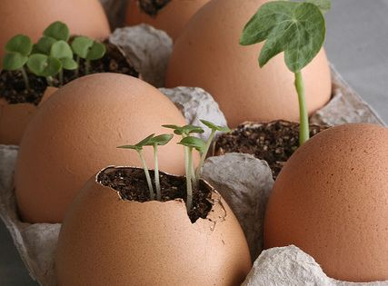 Start seedlings in an egg shell and, when ready, plant the entire