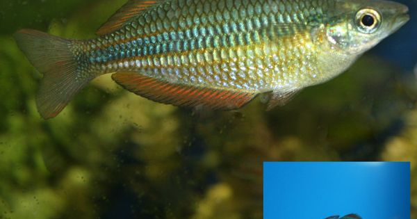 Redfin dwarf rainbowfish melanotaenia maccullochi for Dwarf rainbow fish