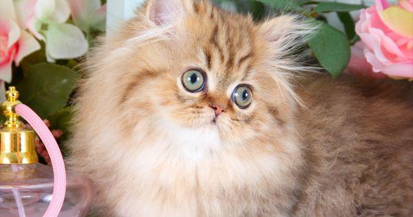 Teacup Persian Kitten InformationUltra Rare Persian ...