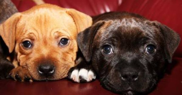 Staffordshire Puppies English Cute Dogs And Puppies English Staffordshire Bull Terrier Most Beautiful Dogs