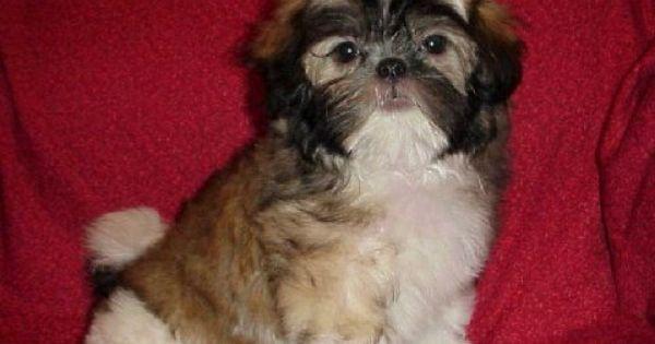 Toy Mi Ki For Sale Mi Ki Toy Puppies For Sale In Texas Rare Mi