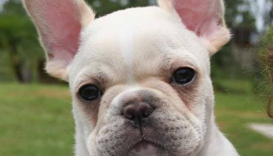 French bulldogs are one of the only small dogs I'd ever own.
