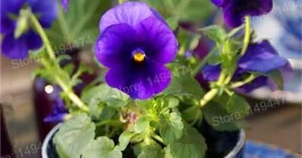 200pcs Mixed Color Rare Mini Pansy Seeds Wavy Viola Tricolor Flower Seeds Bright Beautiful Folwer Mini Bonsai For Pansies Beautiful Flowers Flower Arrangements
