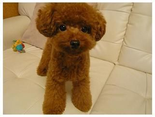 Poodle Teddy Bear Clip Teddy Bear Poodle Poodle Haircut Toy