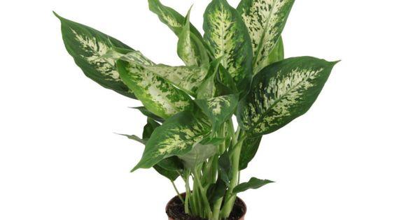 Difenbachia Mix 40 Cm Kwiaty Doniczkowe W Atrakcyjnej Cenie W Sklepach Leroy Merlin Plants Cactus Plants Cactus